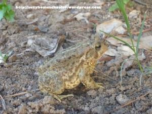 Impromptu Frog Studies, Suzy Homeschooler (3)